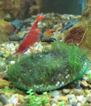 Shrimp carrying eggs